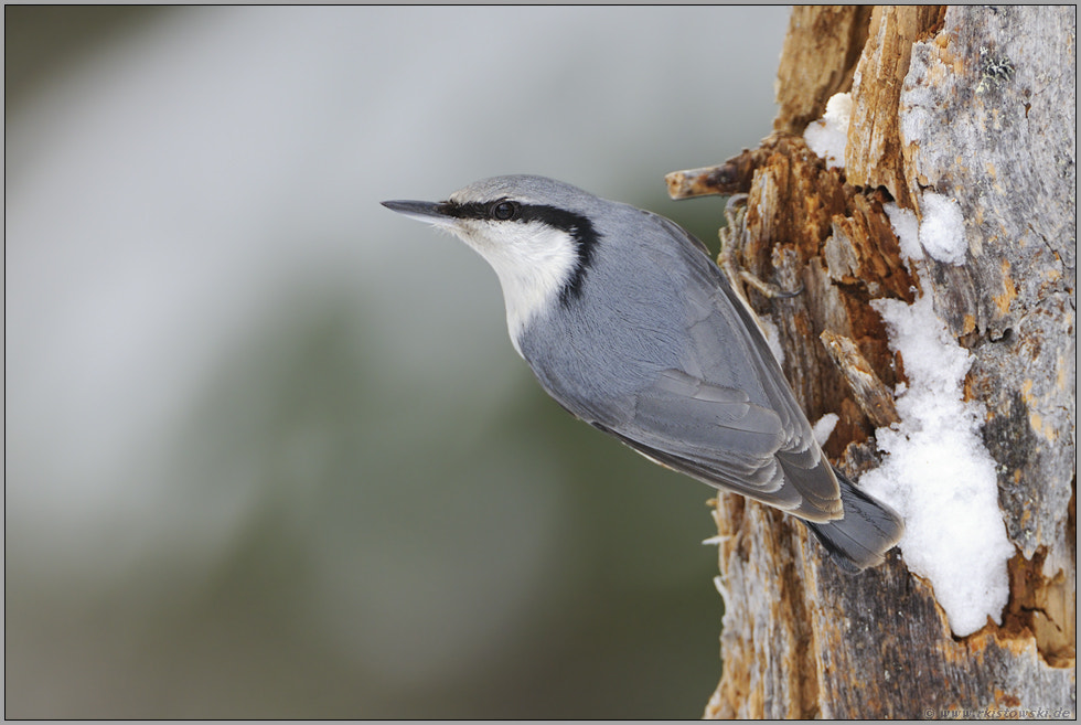 Photograph Nordic Nuthatch by www.wonderful-earth.net  on 500px