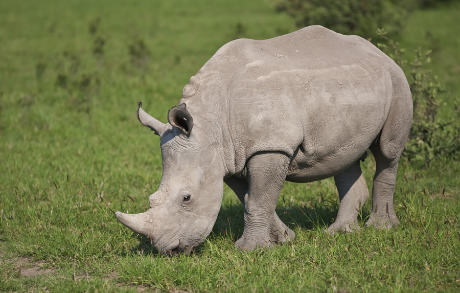 This younster posed nicely in the relatively early morning  in Khama Rhino Sanctuary, Botswana