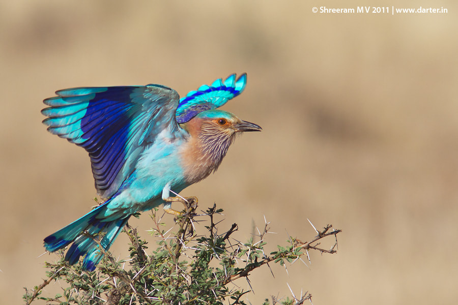 Photograph Indian Roller by Shreeram M V on 500px