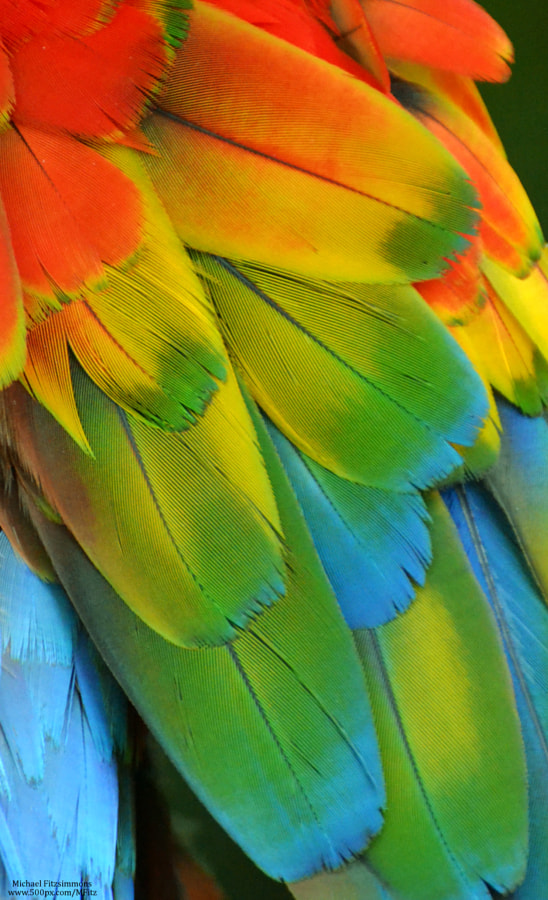 Macaw Feathers XIV by Michael Fitzsimmons on 500px