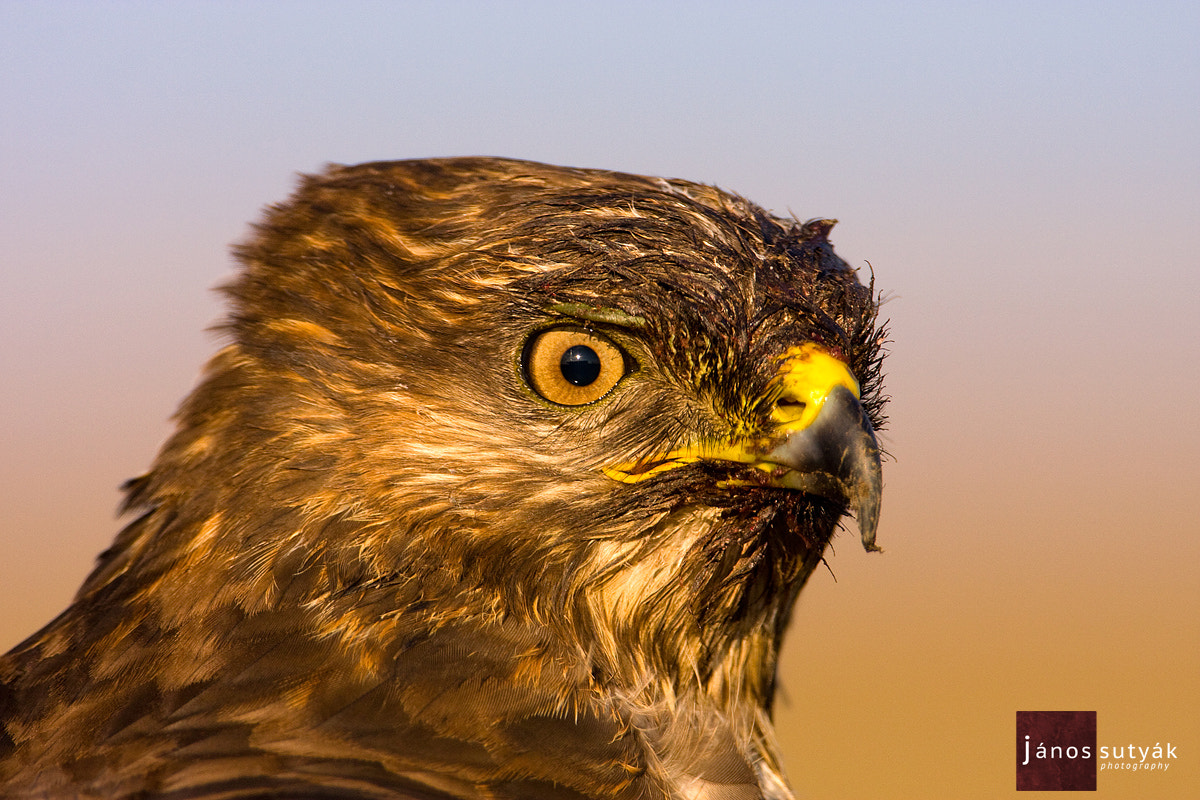Photograph Buzzard by Janos Sutyak on 500px