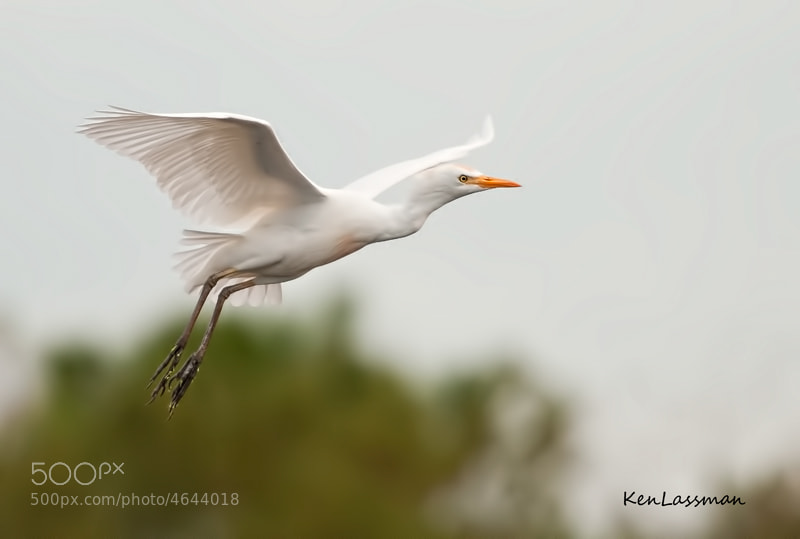 Cattle Egret returning to rookery in the rain