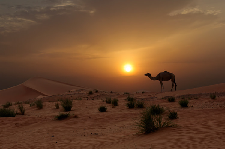 Photograph Camel at Sunset by fizzy wizzy on 500px
