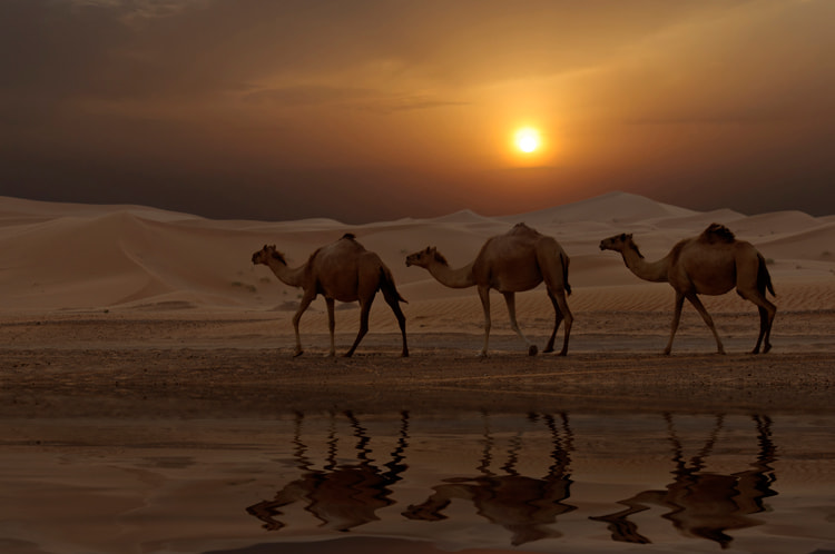 Photograph Camels at Sunset by fizzy wizzy on 500px