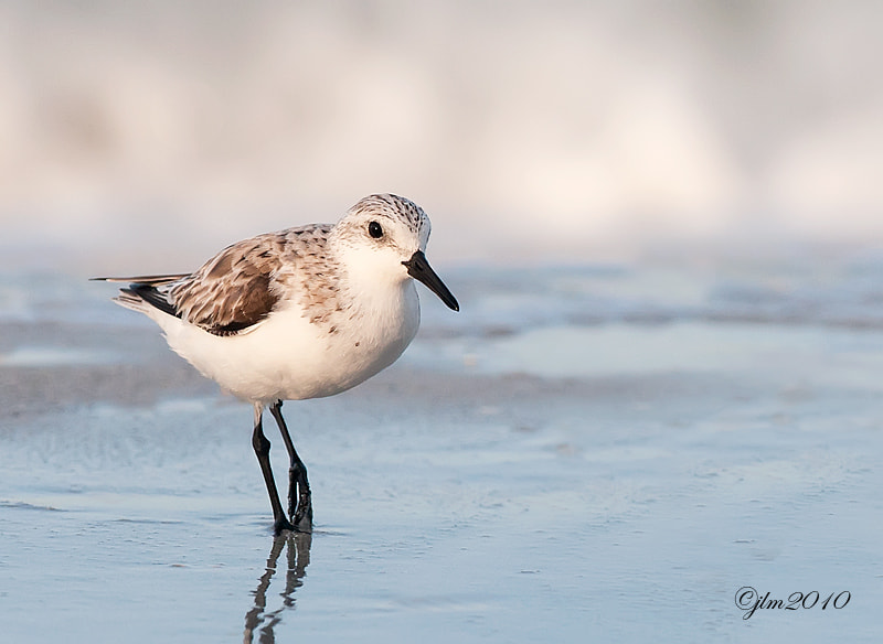 This little sanderling was captured as he leisurely strolled along the beach at Fort Desoto.. Shorebirds have always and been fascinating to me and a real joy to watch as they busily go about their .business.