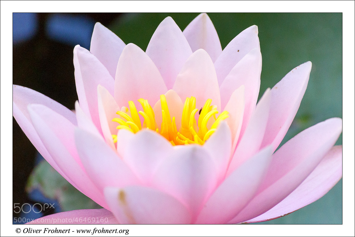Photograph Water Lily by Oliver Frohnert on 500px