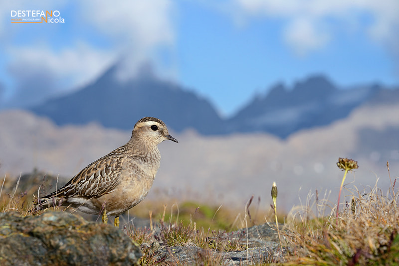 Photograph Eurasian Dotterel by Nicola Destefano on 500px