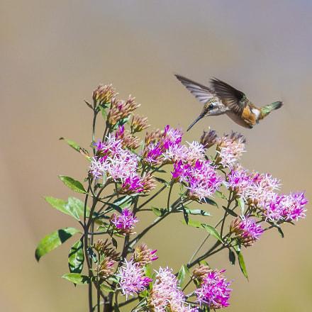 Female Amethyst Woodstar Hummingbird
