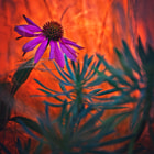 Echinacea purpurea (purple coneflower) in