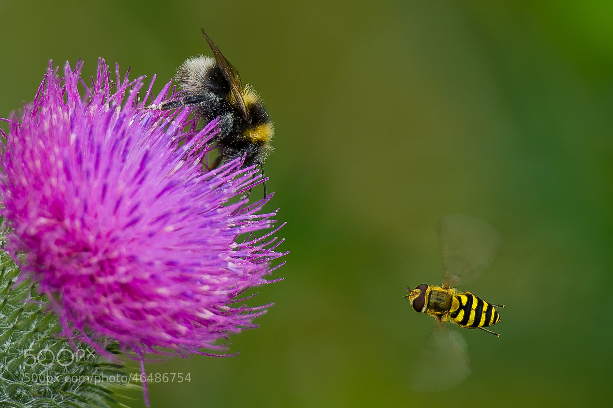 Photograph The bee and the bumblebee in focus by Jørn Allan Pedersen on 500px