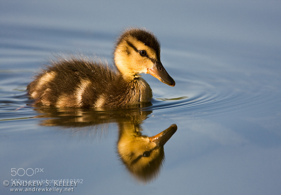 Photograph Mallard Duckling by Andrew Kelley on 500px