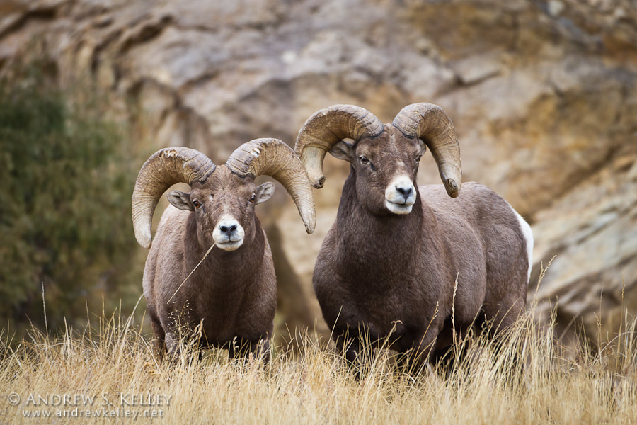 Photograph Bighorn Sheep by Andrew Kelley on 500px