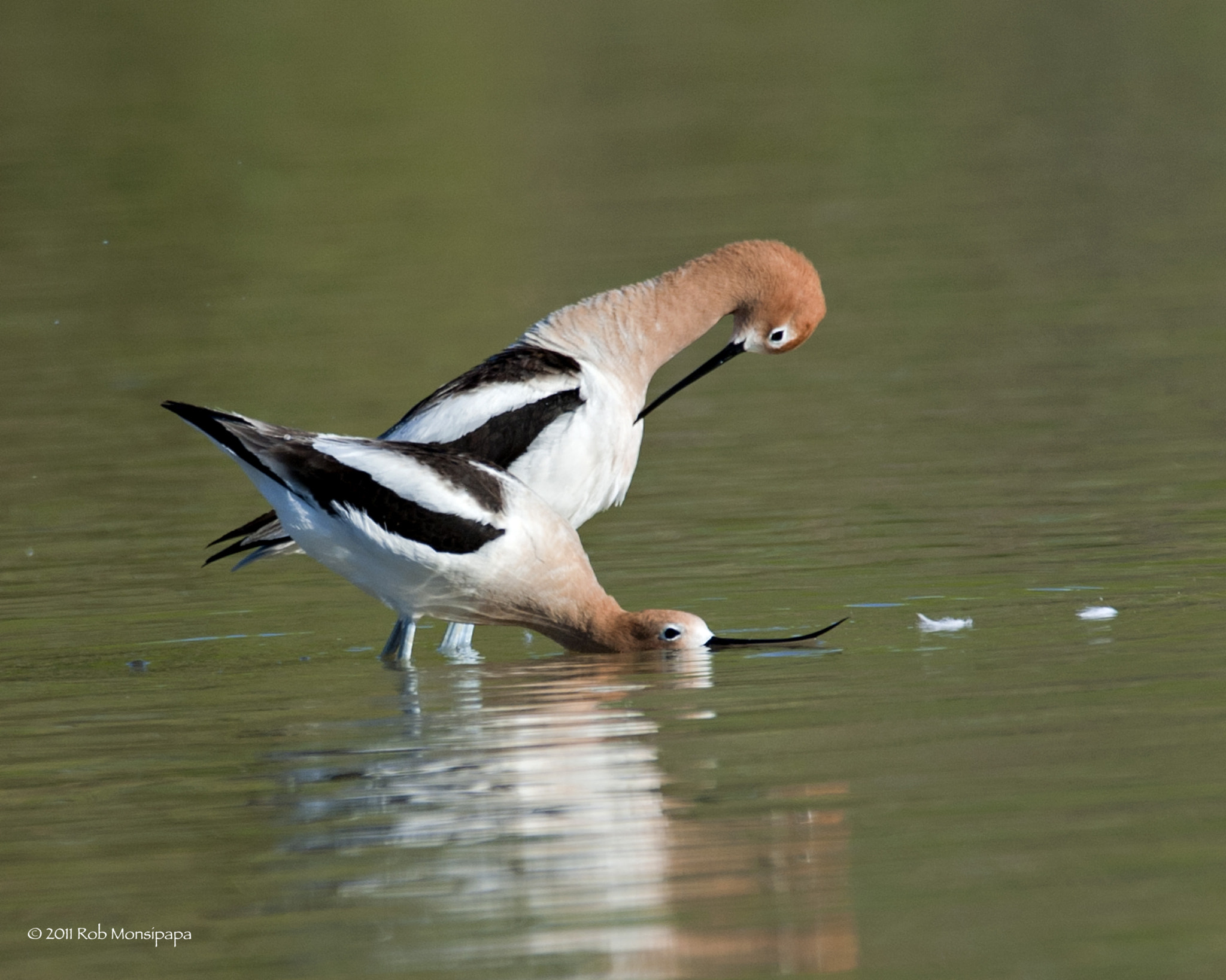 Photograph Avocet Pic # 1 - view all 9 photos by Rob Monsipapa on 500px