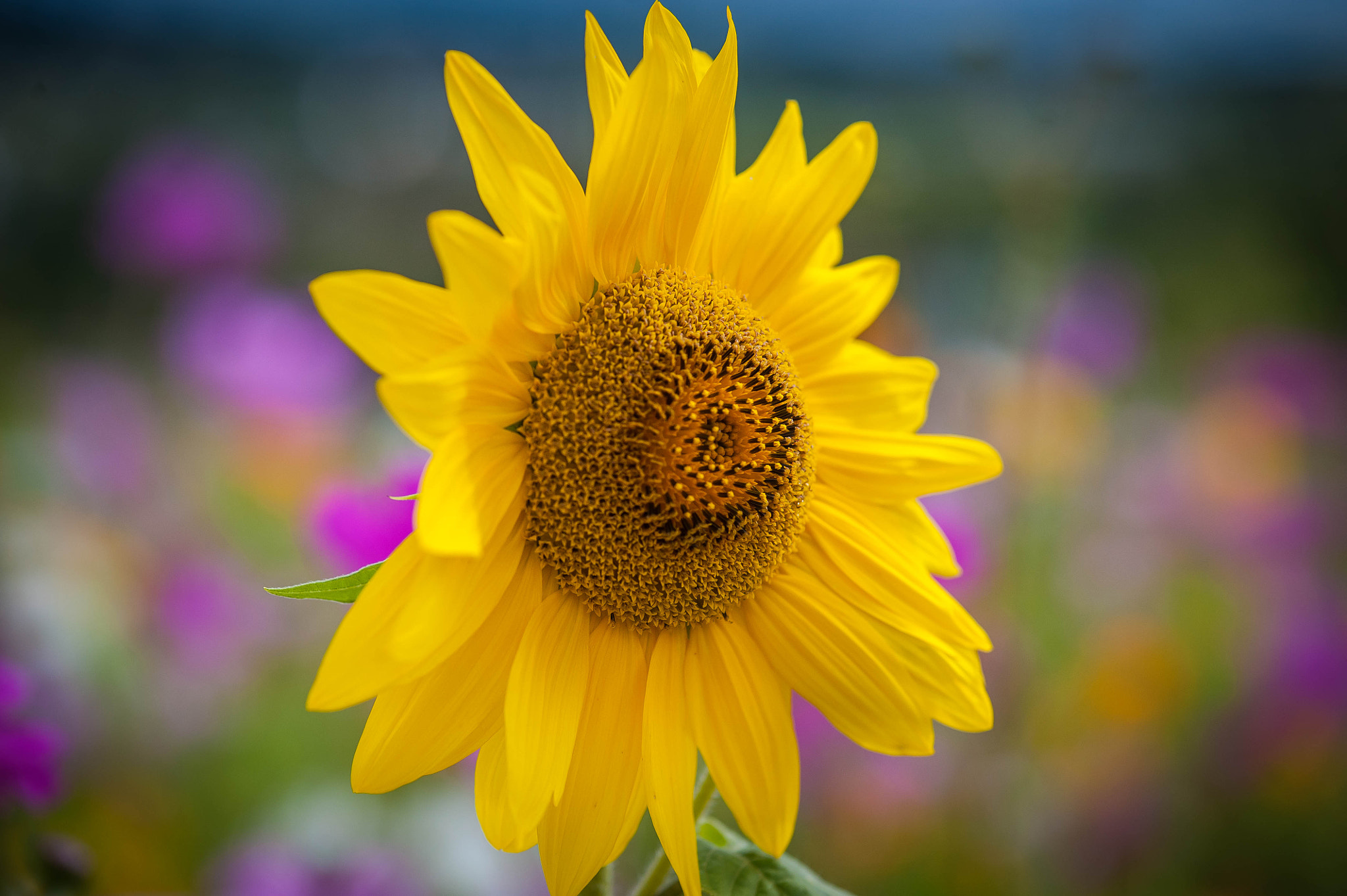 Photograph sun flower by serge vincent on 500px
