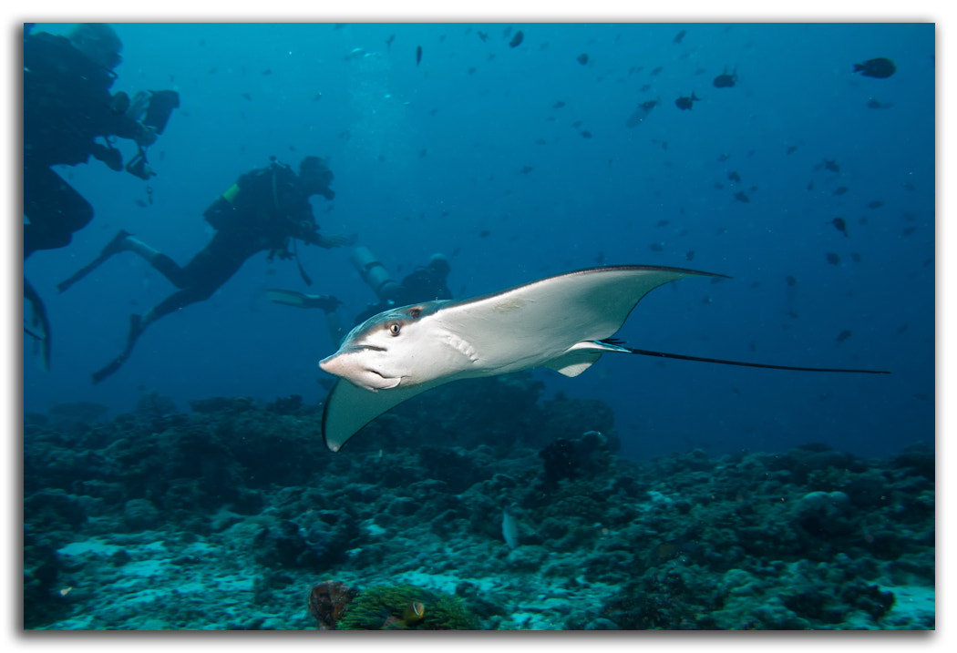 Photograph Spotted Eagle Ray by David Whistlecraft on 500px