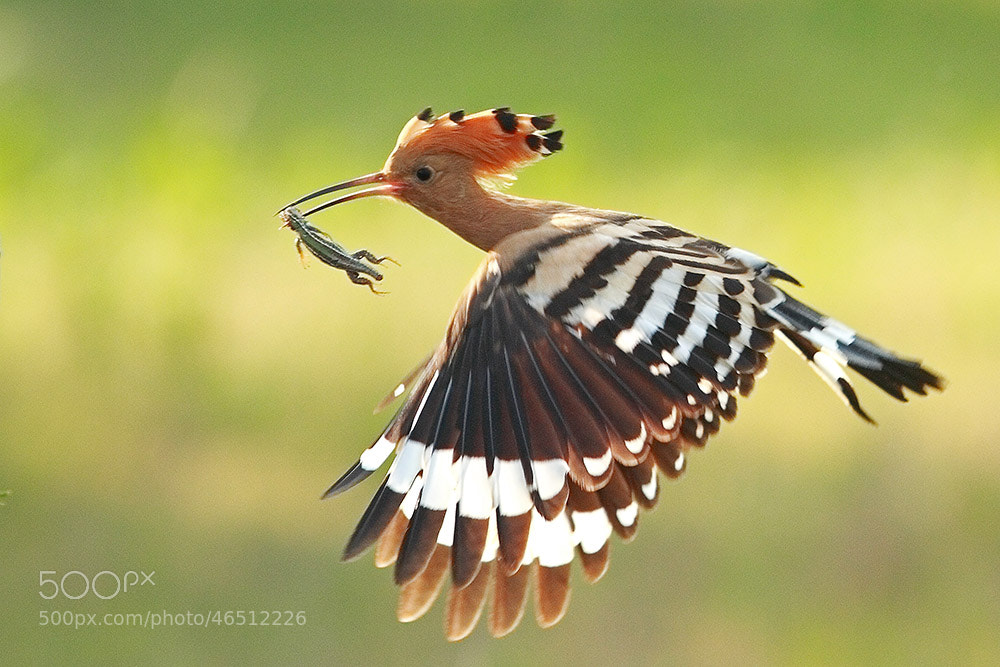 Photograph Flying hoopoe by Marc Costermans on 500px