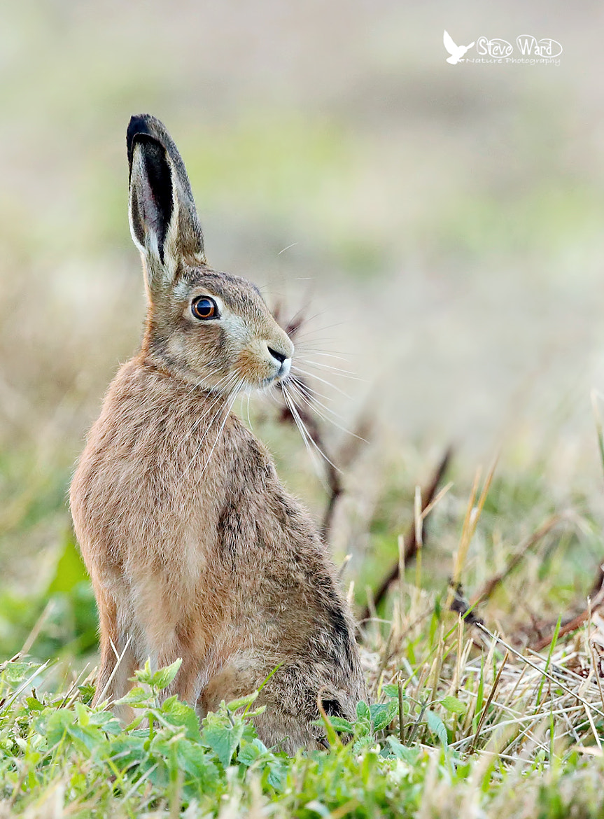 Photograph Am all Ears by Steven Ward  on 500px