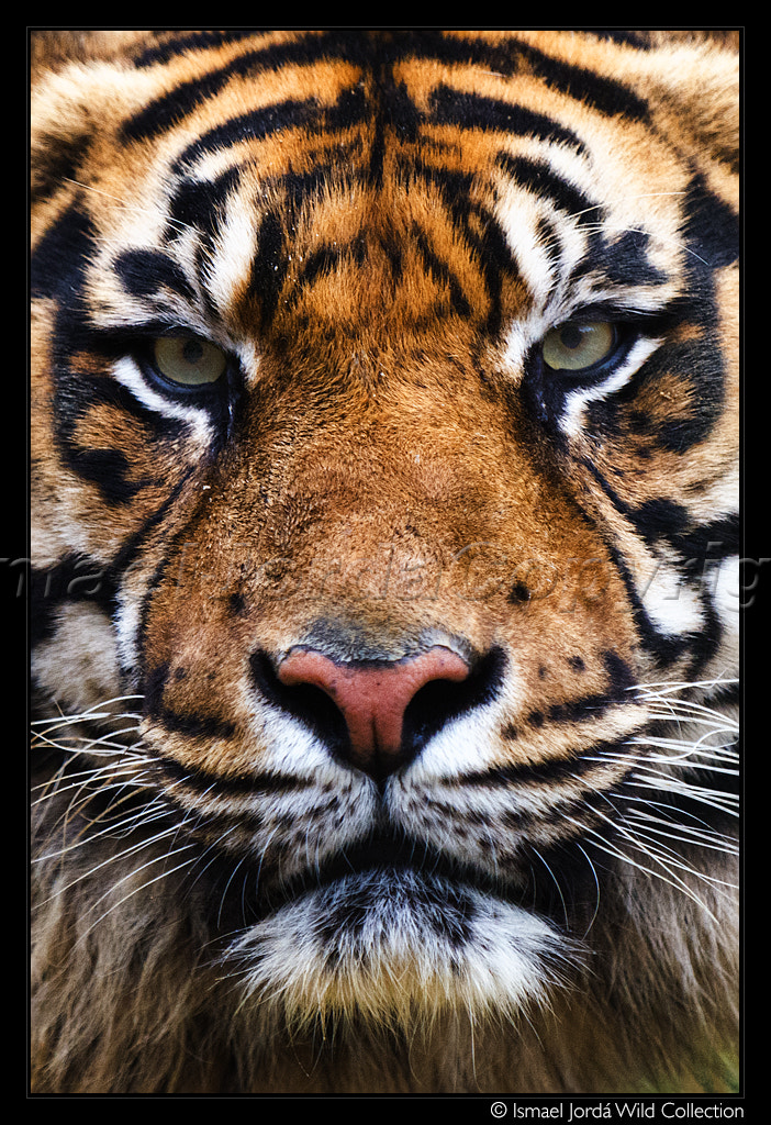 Photograph Tiger (2013) by Ismael Jordá on 500px