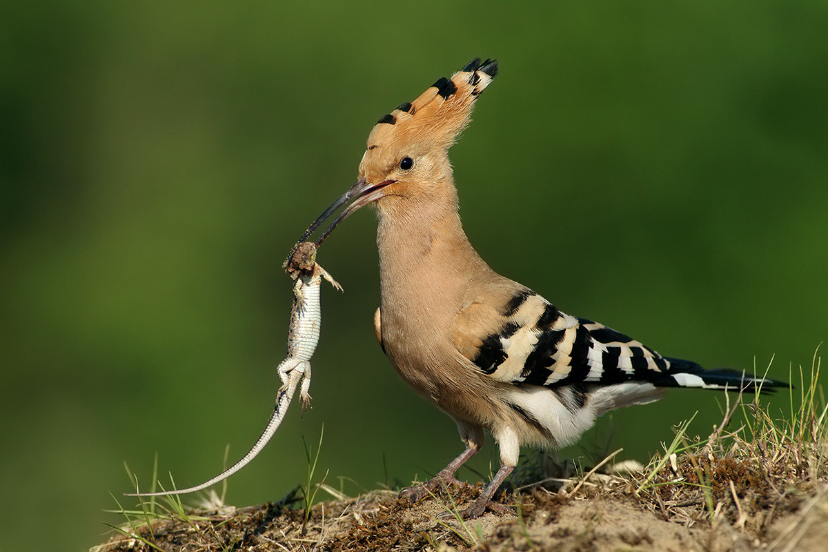 Photograph hoopoe delicacy by Miklos Liziczai on 500px