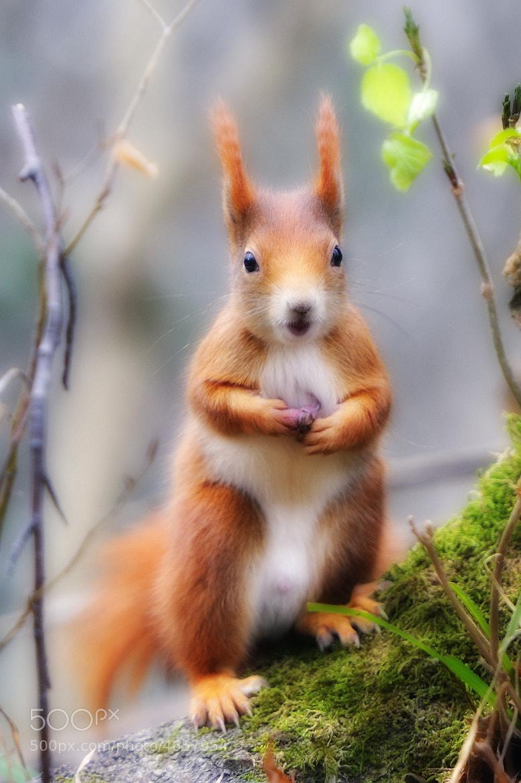 Photograph Orange Squirrel Glow by Josef Gelernter on 500px