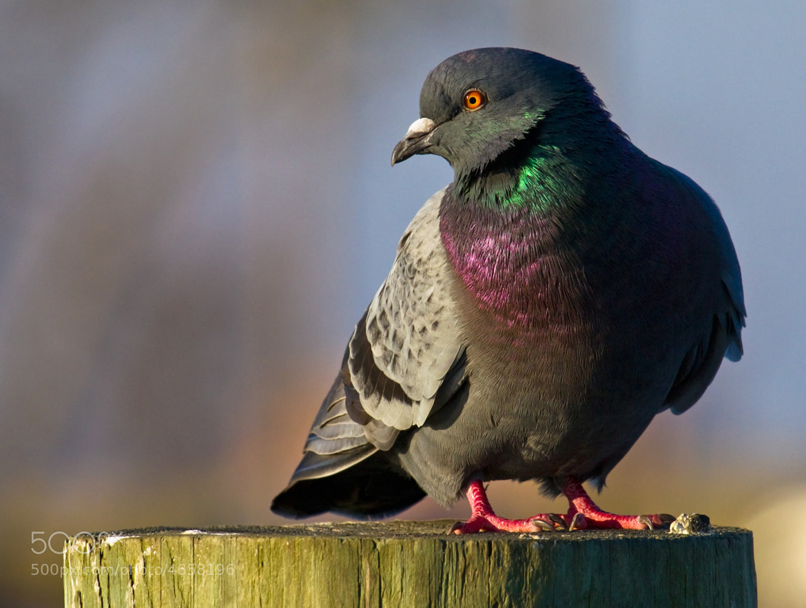 Photograph Rock Pigeon by Lorraine Hudgins on 500px