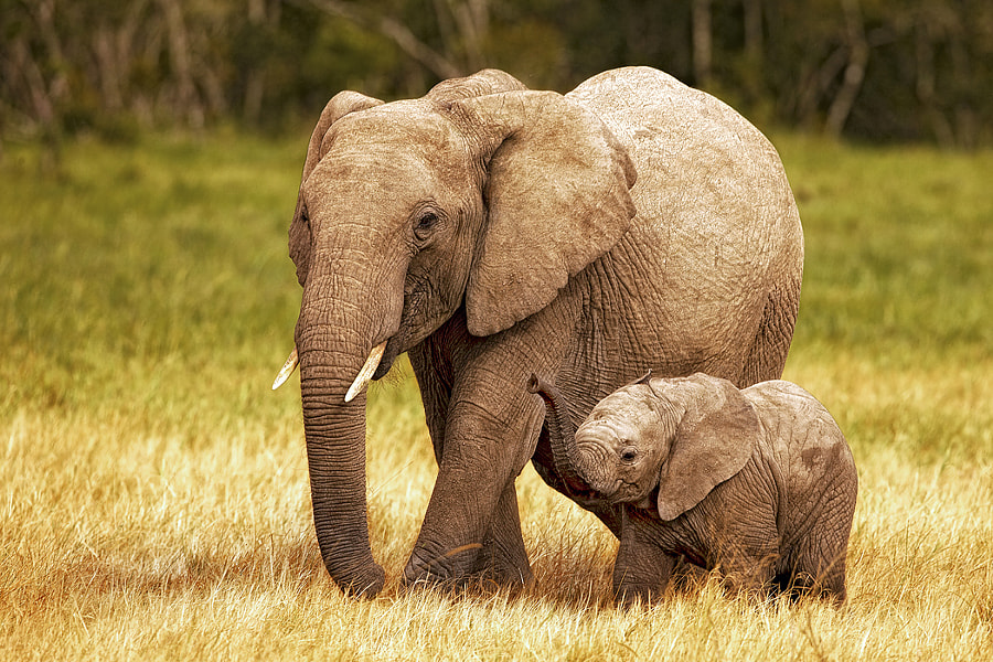 Mama elephant with baby from my recent trip to Kenya Africa. This little guy was SO cute...he/she ran around with a lot of energy and the way he used his trunk made one think he was still trying to figure it out. Hope you like this one...it's one of my favs.