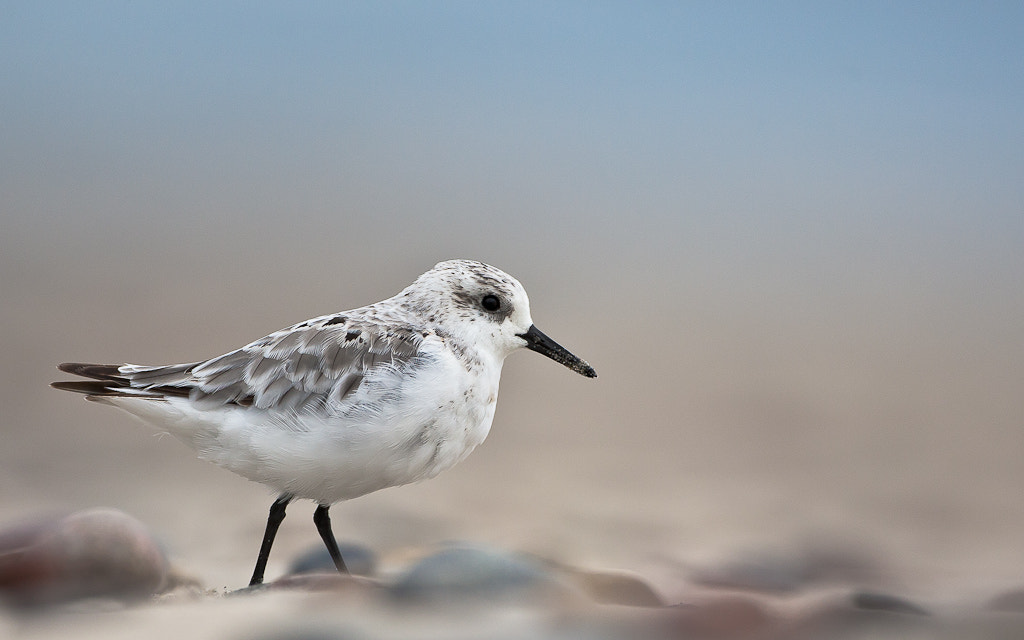 Photograph Sanderling by Geir  Jensen on 500px