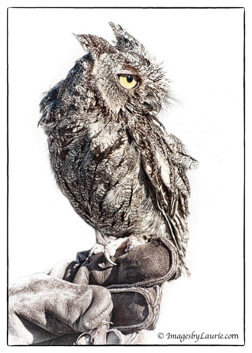 Photograph A Little Hoot by Laurie Rubin on 500px