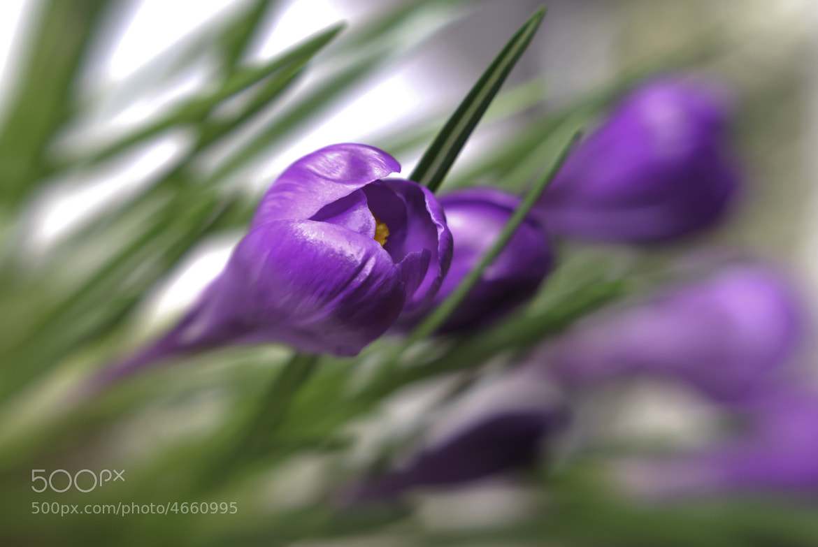 Photograph Crocus Blur by Linda Trine on 500px