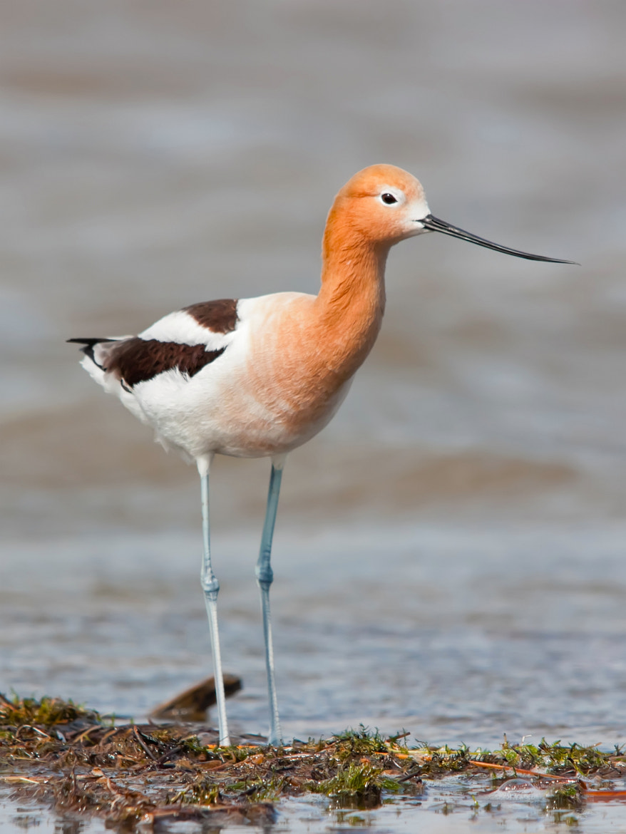 Photograph American Avocet by Raymond Lee on 500px