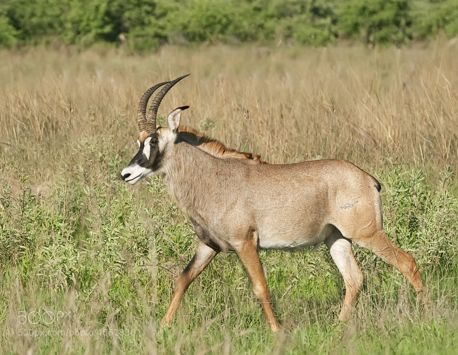 We were licky to find a small herd of 4 of these beautiful Antelope in Kwando, Northern Botswana, and they did not run away