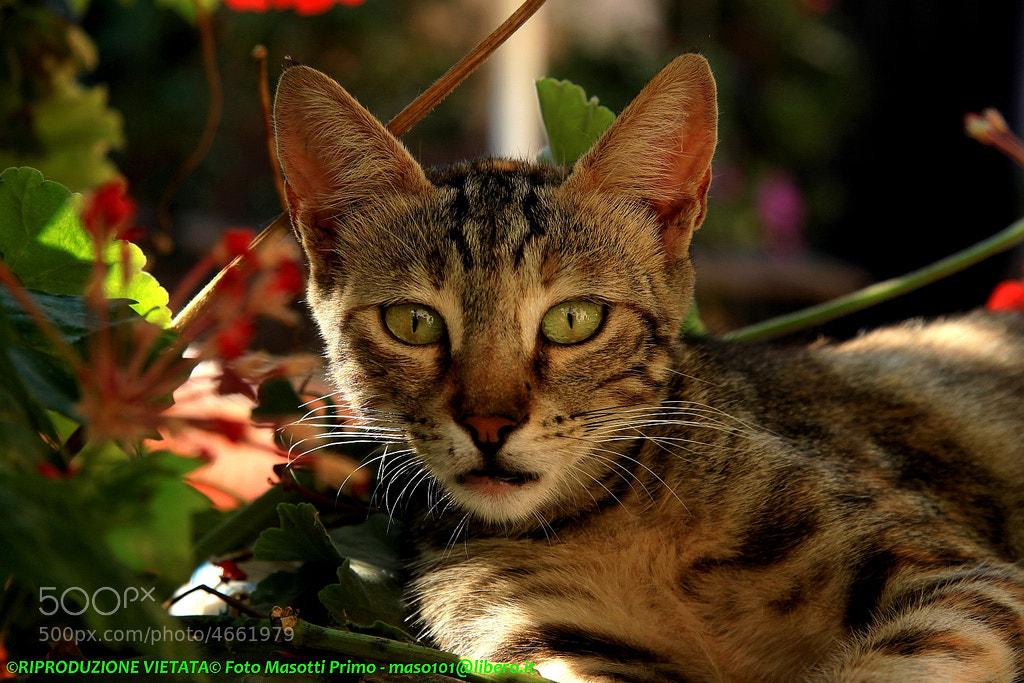 Photograph Maniacus Cat - gatto del MANI - Greece_6376 - DVD Pel. by primo masotti on 500px
