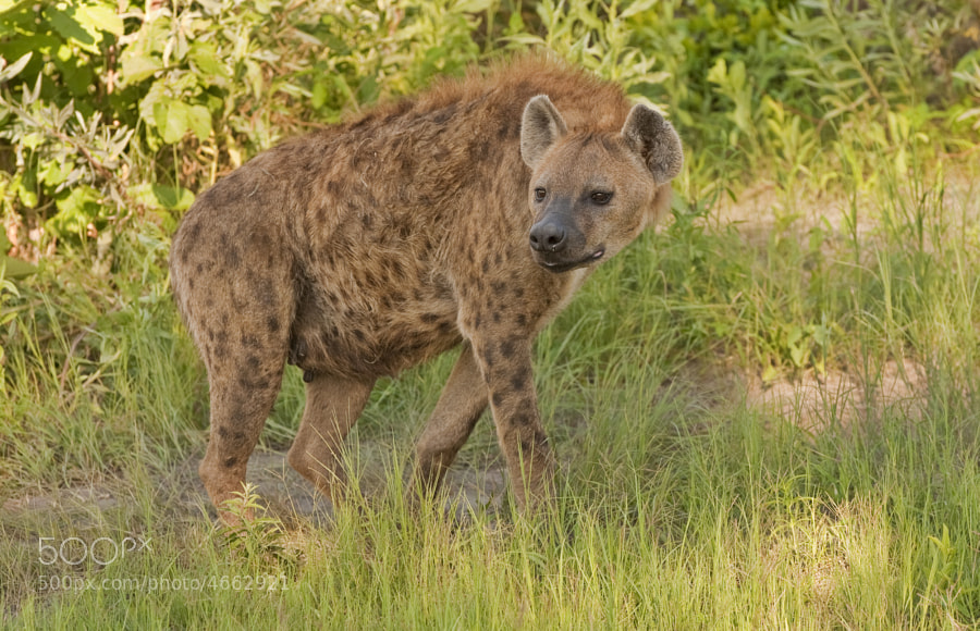 We found this Hyena mum, moving her young pup to another den, with two helpers. They lead us a merry  dance through thick undergrowth only now and again appearing relative clear.