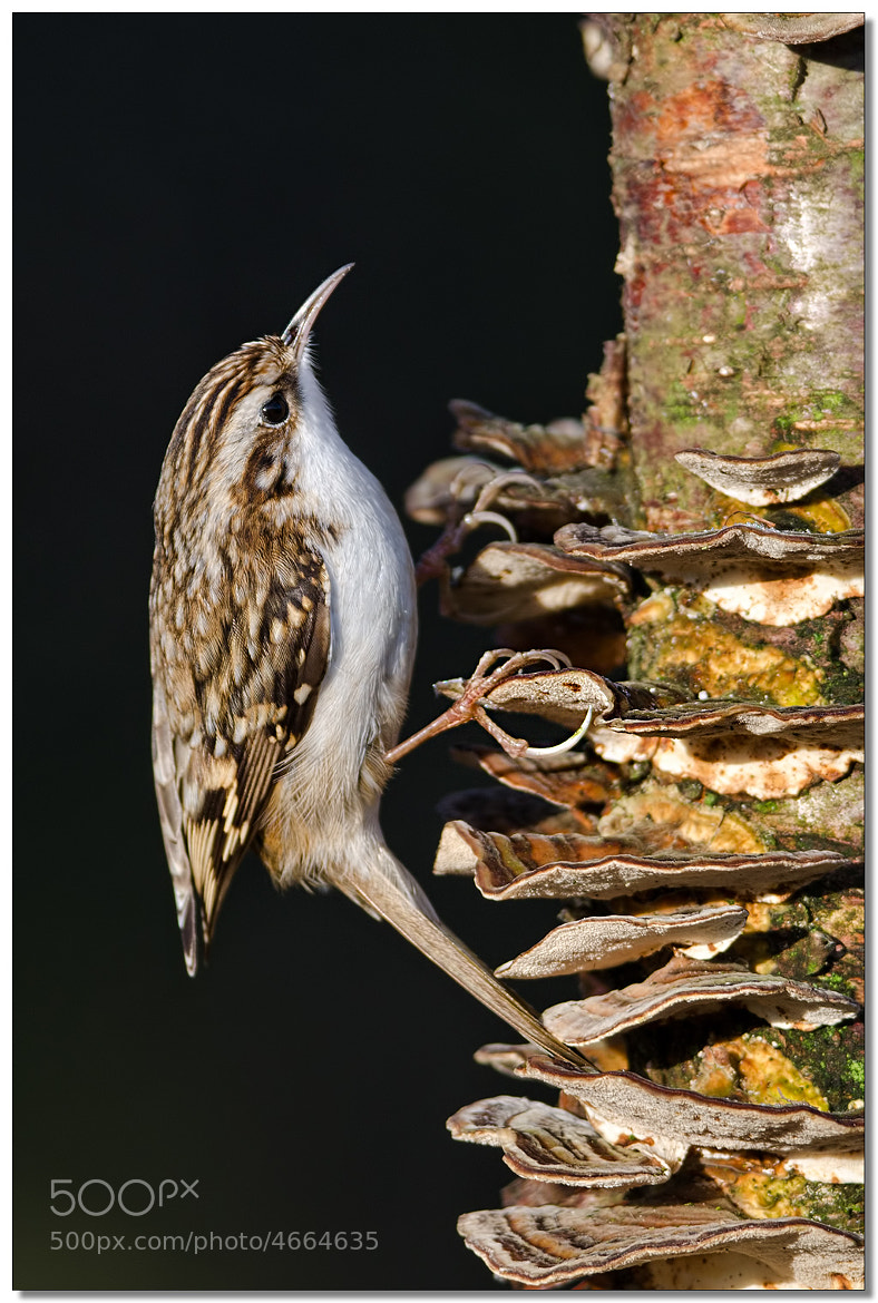 Photograph Treecreeper on fungus by Mike Hudson on 500px