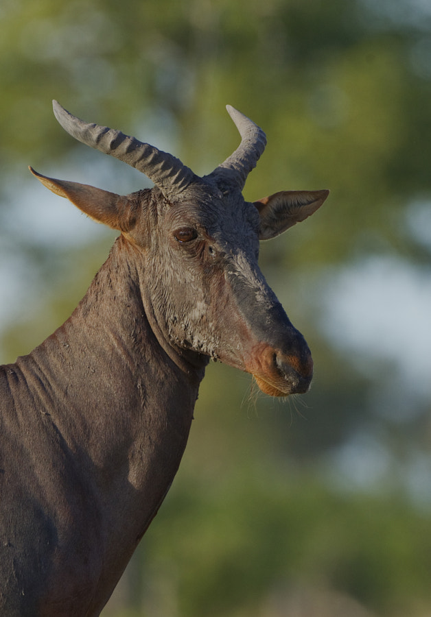 Africa's fastest Antelope stands stll momentarily on a termite mound in Kwando, Botswana