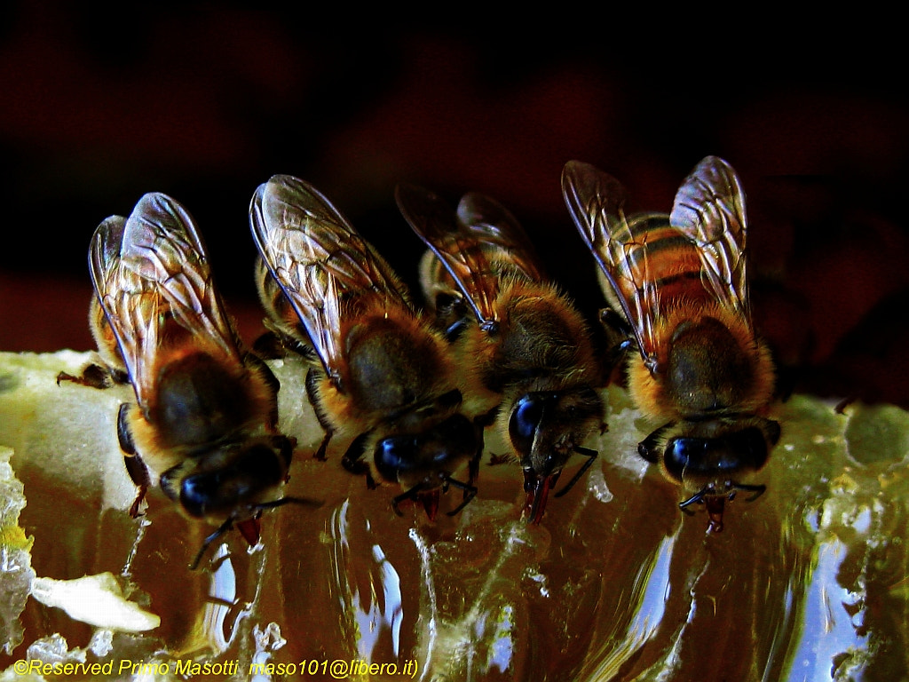 Photograph bon appetit! - Bees and Honey  - Missano (zocca modena italy) 047 - DVD 14 by primo masotti on 500px