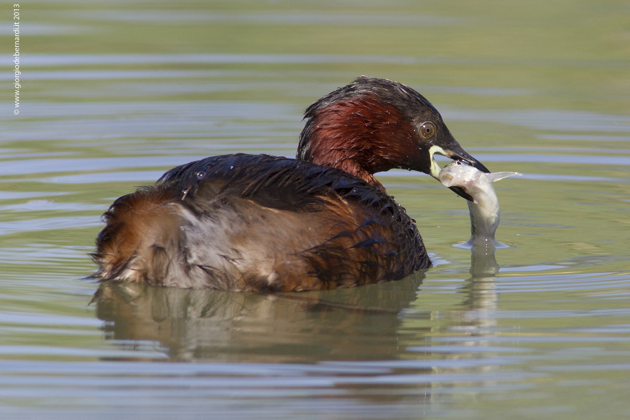Photograph Little Grebe (Tuffetto) by giorgio debernardi on 500px