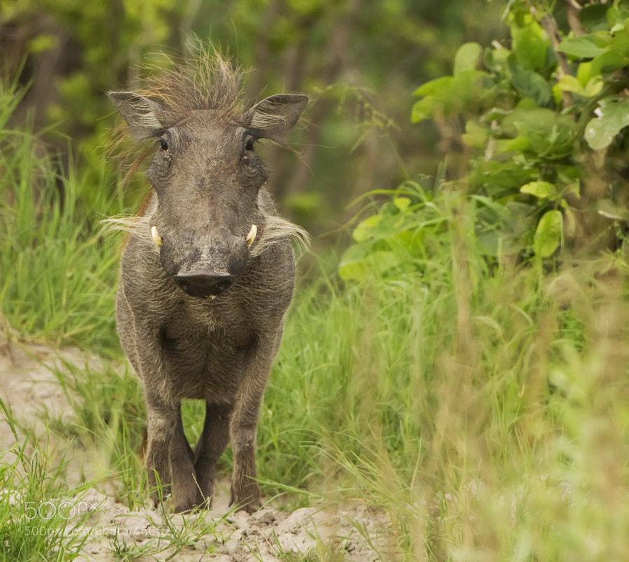 This Warthog has just seen two of her youngsters taken by Wild Dog, later Mum and Dad came out with their final youngster