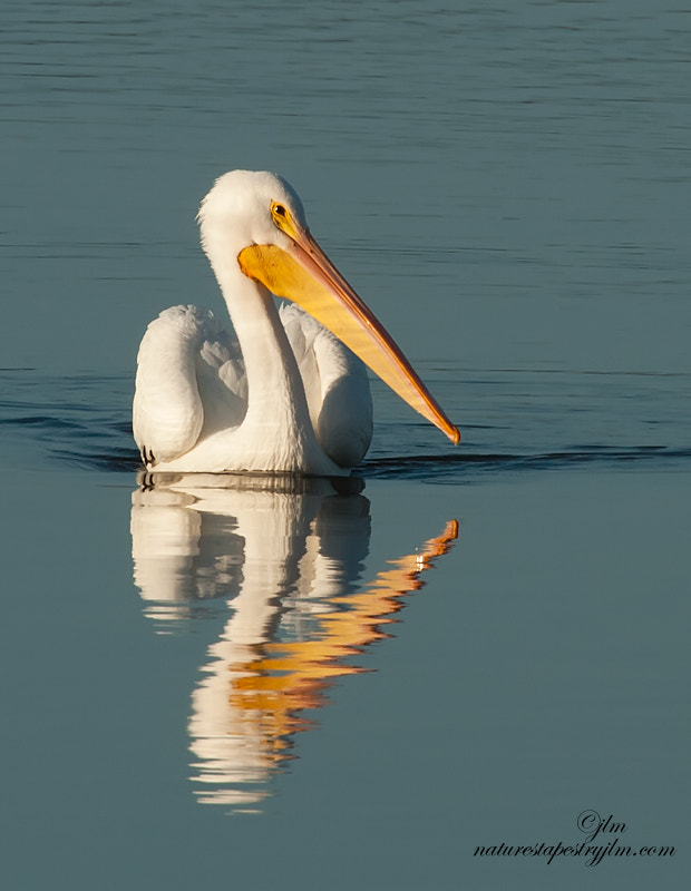 This image of the white pelican was taken last week.  The water level was low and many of the pelicans came in closer to shore to fish.   This gave us a great opportunity to capture them closer and with great reflections.