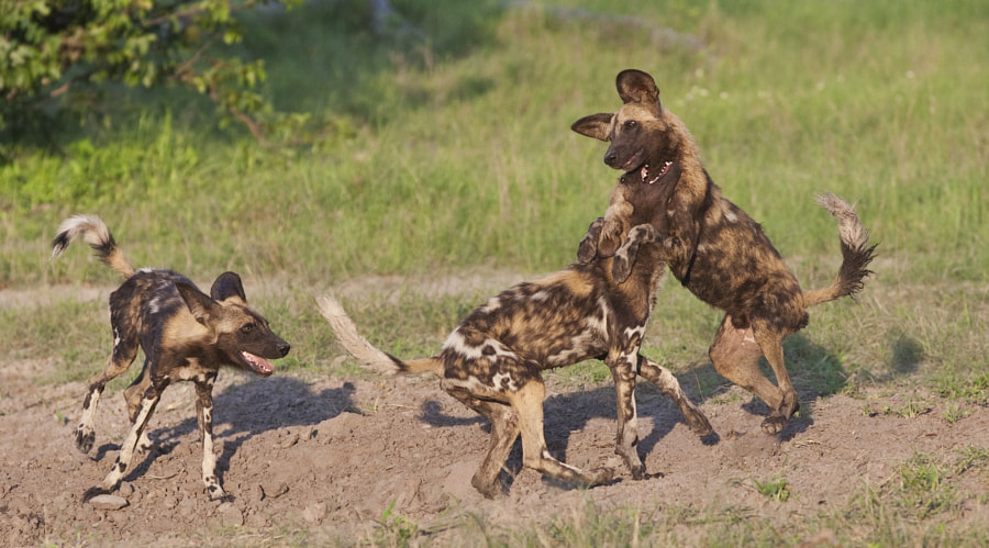 My favourite sight in Wildlife watching, probably because I am a dog lover. Taken in where else but Kwando, Botswana, Wild Dog watchers heaven!