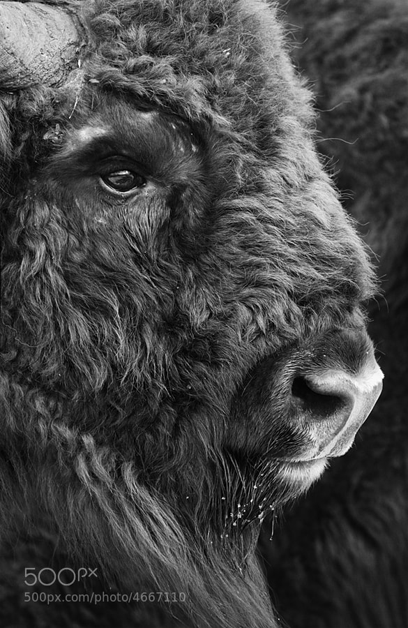 Photograph European Bison by Nick Hanson on 500px