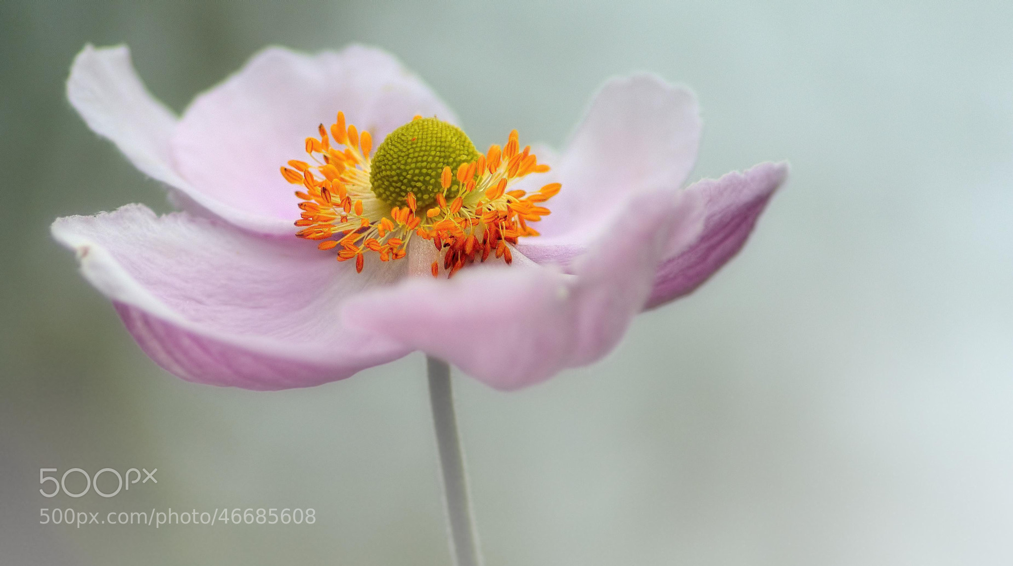 Photograph Pink by Kenny Kennford on 500px