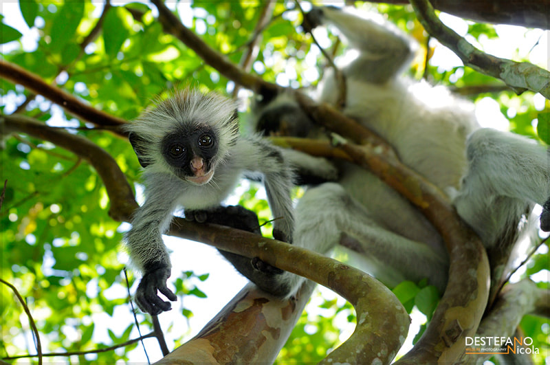 Photograph Kirk's Red Colobus by Nicola Destefano on 500px