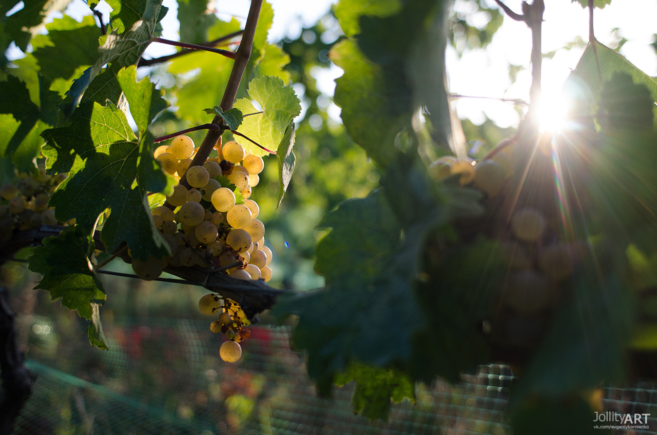 """Photograph Private Winery. White grape """"Riesling"""" by Evgeniy Kornienko on 500px"""