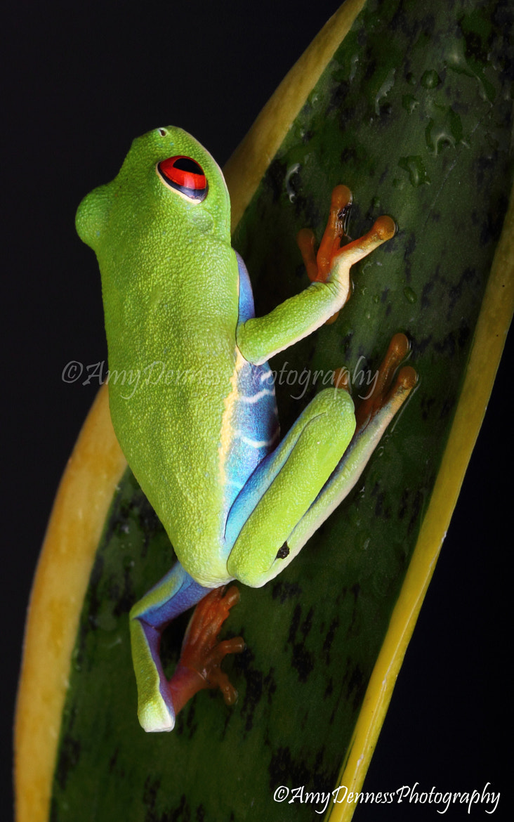 Photograph Red-eyed treefrog by Amy Denness on 500px