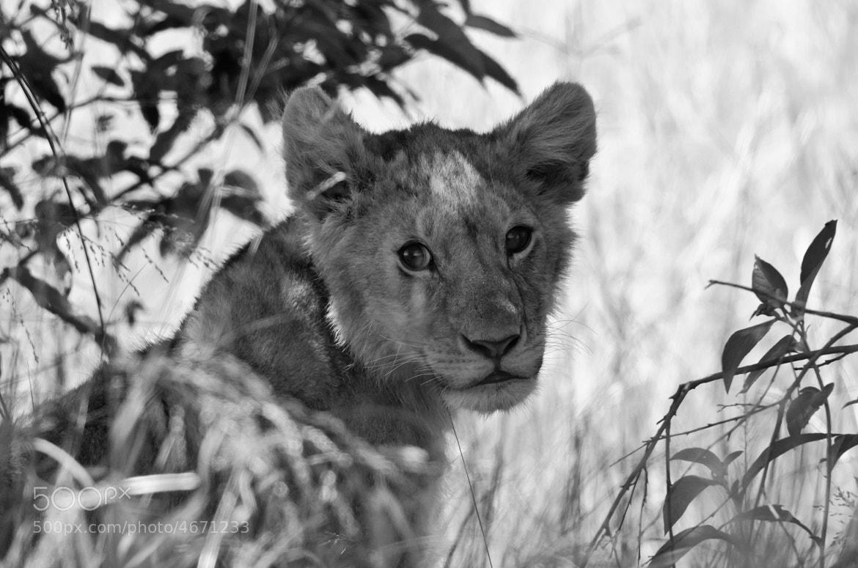 Photograph Lion cub by Luke Millward on 500px
