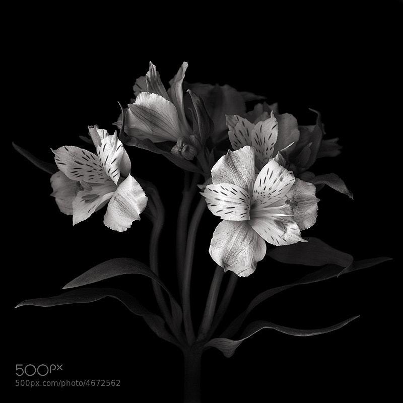 LES BELLES BLANCHES...   Alstroemeria by Magda indigo (magdaindigo) on 500px.com