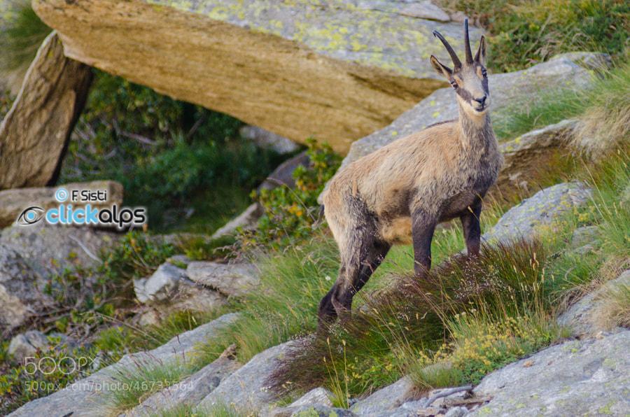 Photograph Un amico sul ritorno...Camoscio alpino - Rupicapra rupicapra (Valle dell'Orco, Parco Nazionale Gran  by Francesco Sisti on 500px