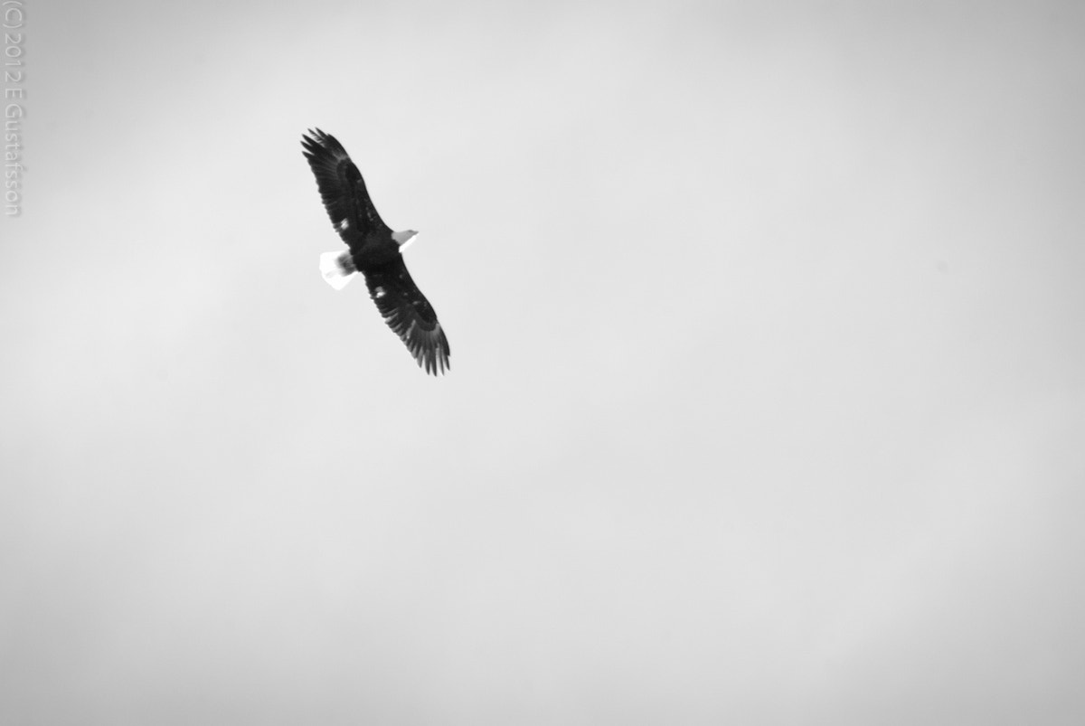 Photograph Soaring Bald Eagle by Eje Gustafsson on 500px