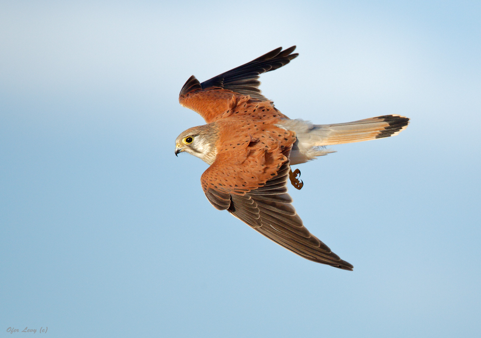 Photograph Nankeen Kestrel banking by Ofer Levy on 500px